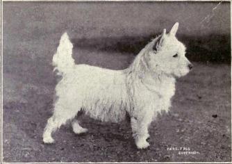 westie_1915